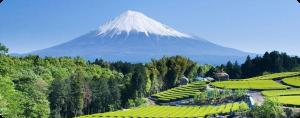 Shizuoka Tea and Mt. Fuji