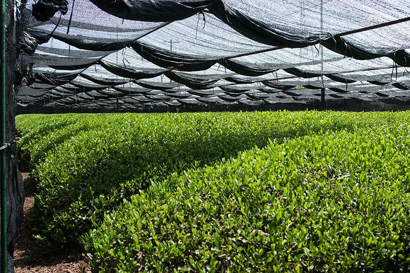 Shading of green tea