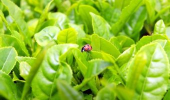 Pesticides and Tea